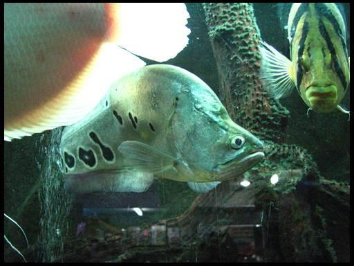 рыба-нож читала глазчатый