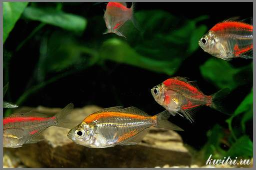 прозрачная рыбка
