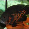 красивые аквариумные рыбки