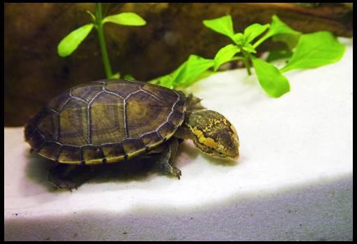 чем кормить аквариумную черепаху