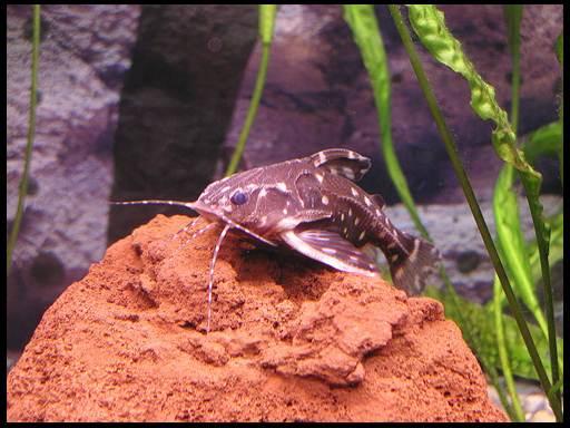 виды сомов аквариумных