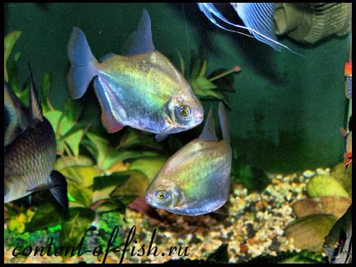 аквариумные рыбки похожие на пираний