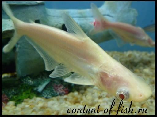 акула пресноводная