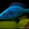 Dimidiochromis-compressiceps594