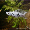пецилия-велифера-далматин