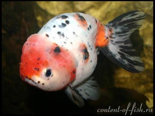 содержание золотых рыбок