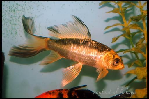 золотая рыбка виды