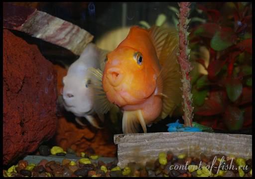 рыба попугай содержание
