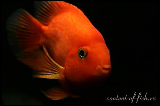 рыбка попугай фото