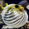 рыба шар