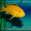 Labidochromis-caeruleus-sp.«yellow»5457