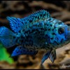 Blue-Jack-Dempseyхор5513