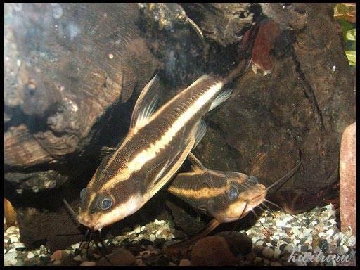 платидорас фото