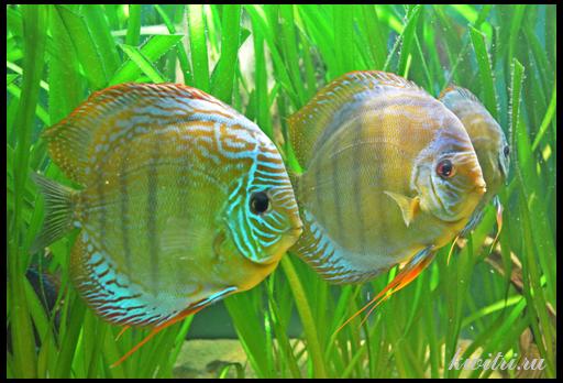 растения для аквариума с дискусами