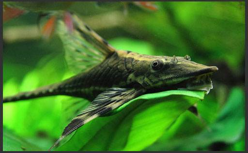 сомики аквариумные фото