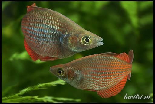 неоест радужных рыбок