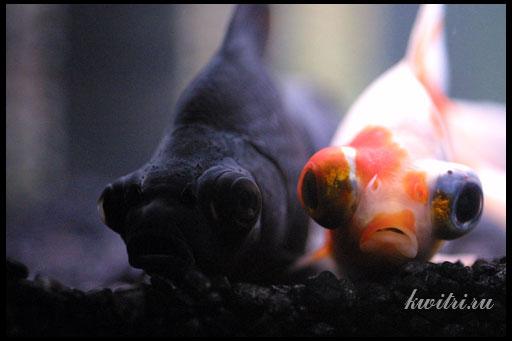 содержание рыб с большими глазами