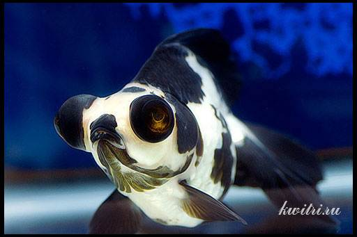 рыбка аквариумная телескоп панда