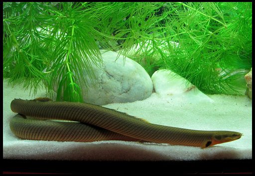 рыбы живущие на дне аквариума