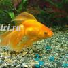 goldfish001
