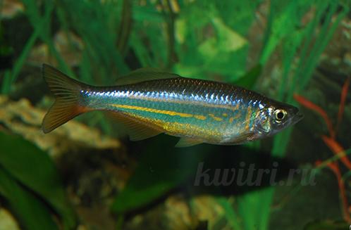 Danio aequipinnatus
