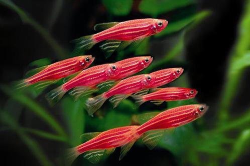 Brachydanio GloFish