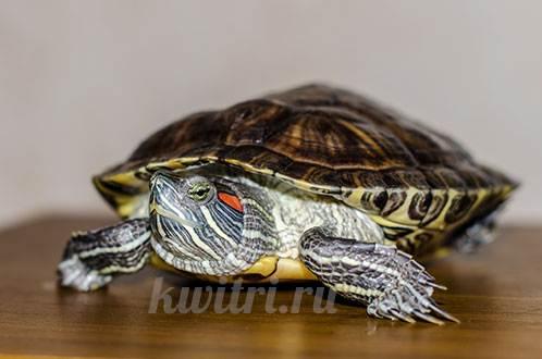 Чем кормить красноухих черепах | 330x498