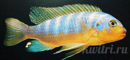 Pseudotropheus aurora