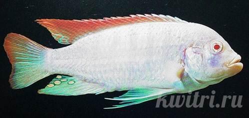 Pseudotropheus greshakei red top ice blue