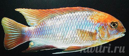 Pseudotropheus macrophthalmus red hood