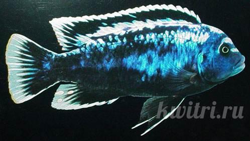 Pseudotropheus magunga striped deep