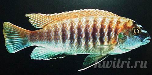 Pseudotropheus-tropheus-red-fin