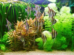 Подселение рыбок в аквариум