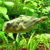 Отравление рыб хлором