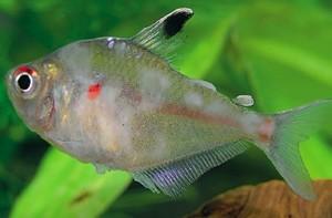 Алкалоз у рыб