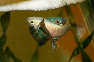 Размножение макропода