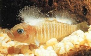 «Ватная» болезнь у рыб