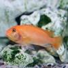 Вздутие малави у рыб