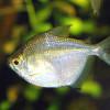 Ацидоз у рыб