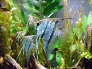 Когда вода в аквариуме становится причиной отравления рыбок