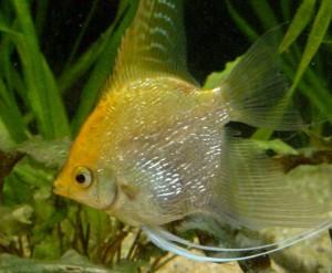 Непроходимость кишечника у рыб