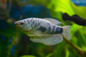 Гипоксия рыб