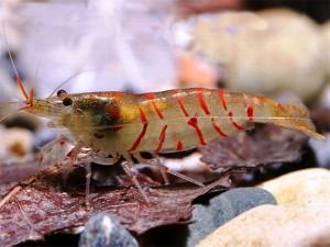 Красная тигровая креветка