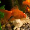 Осмотический стресс и осмотический шок у рыб