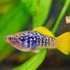 Xiphophorus maculatus variatus helleri Platy Platies Platyfish Moonfish Moon fish swordtail swordtails Schwertträger ???? ?????? ??????