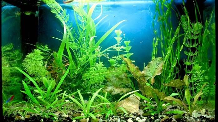 аквариумное растение2