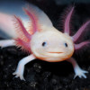 This rare Axolotl salamander has a reason to smile as he welcomes visitors as the star attraction at an Aquaria Fun Park in Austria.  Unlike his relatives he has not ended up struggling to escape pollution back home in Mexico or being experimented in a lab where they are a much sought after research object.  They have been almost wiped out in the wild due to pollution and the fact they are widely regarded as a tasty delicacy.  The International Union for Conservation of Nature's annual Red List of threatened species lists only two lakes still known to have specimens.  In captivity they are also popular - but unlike this lucky specimen it is mainly in laboratories where they are prized for their ability to grow new limbs when they are severed, and the ease on which their young can be experimented with.  It was regarded as a medical sensation when it was found the can Axolotl not only fully regenerate limbs but also internal organs, including it's spine and part of its brain.  Scientists believe the animal could eventually hold the key to human limb regeneration.  So safe in his home at the aquarium in Steinerkirchen an der Traun in Austria this Axolotl has a few things to be grateful for.  (ends)