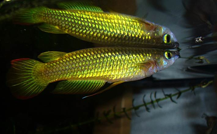 642_Golden_Wonder_Killifish_Aplocheilus_Lineatus.e