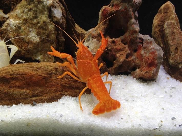 Cright-orange-lobster-01