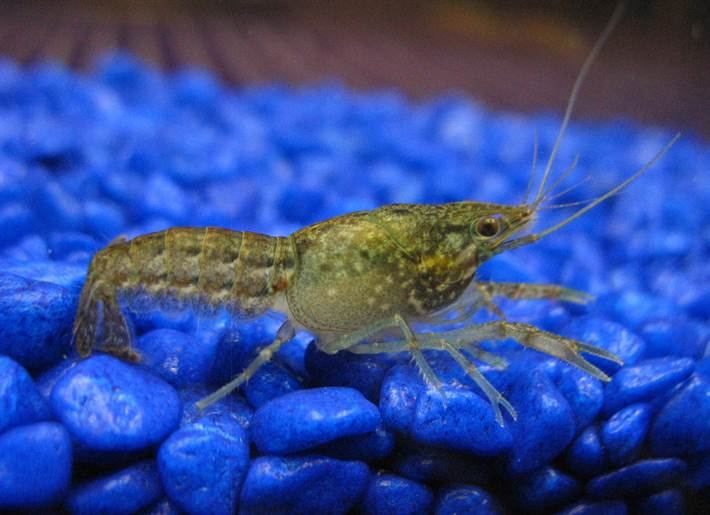 Young-marbled-crayfish